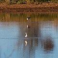 Black-winged stilt pond near Burke River Boulia Queensland P1030820.jpg