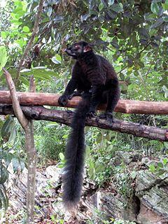 Black lemur Species of lemur