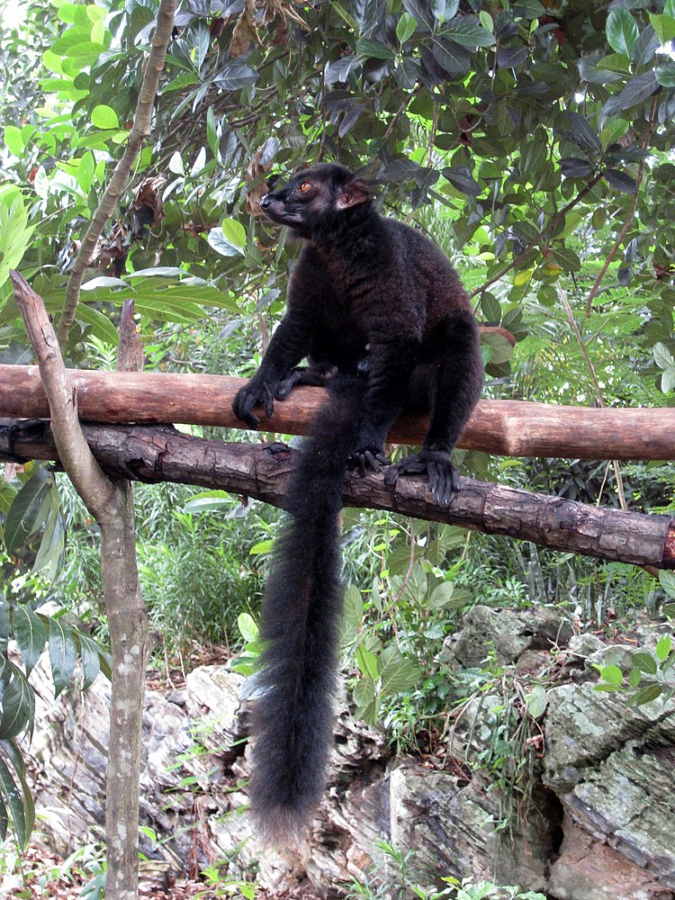 The average litter size of a Black lemur is 1