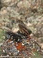 Black Redstart (Phoenicurus ochruros) (20062216414).jpg