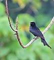 Black drongo bird.jpg