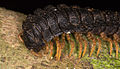 Black polydesmida Ecuador 04.jpg