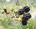 Blackberry fruits.jpg