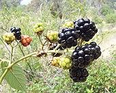 Blackberry fruits.jpg