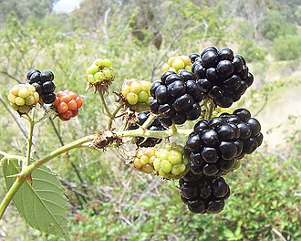Adaptation (eye) - Blackberry fruits