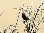 Blackbird (386520730).jpg