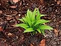 Blad van Daslook (Allium ursinum).JPG