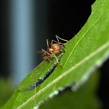 Fungus-growing ants - Wikipedia