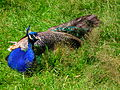 Blauer Pfau Wildpark Alte Fasanerie Klein-Auheim Juni 2012.JPG