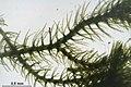 Blepharostoma trichophyllum (d, 144542-474731) 9812.JPG