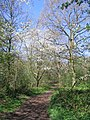Blossom, Crackley Wood - geograph.org.uk - 1262071.jpg