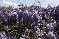 Blue-sky-wisteria-flower-bloom - West Virginia - ForestWander.jpg