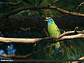 Blue-throated Barbet (Megalaima asiatica) (20550172874).jpg