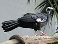 Blue-throated Piping Guan RWD2.jpg
