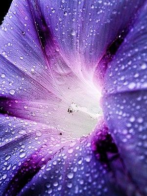 Ipomoea purpurea - Image: Blue Morning Glory Close