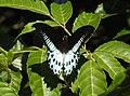 Blue Mormon Papilio polymnestor by Dr. Raju Kasambe DSCN4781 (10).jpg