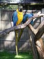 Blue and gold macaw-2 31l07.JPG