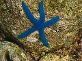 Blue sea star 2.jpg