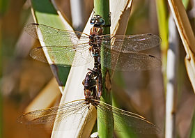 Blue spotted Hawkers Mating 1016.jpg