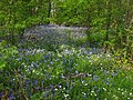 Bluebells and Greater Stitchwort in Maplehurst Wood - geograph.org.uk - 1263722.jpg