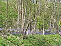 Bluebells in Bredicot Rough - geograph.org.uk - 6217.jpg