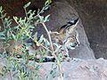 Bobcat. Lynx rufus - Flickr - gailhampshire.jpg