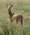 Bohor Reedbuck, female, Serengeti.jpg