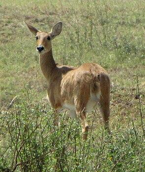 Weiblicher Gemeiner Riedbock in der Serengeti