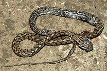 many banded tree snake