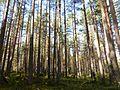 Bor common pine Karelia.jpg