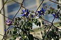 Borago officinalis* (8455748091).jpg
