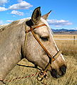 Bosal on horse.jpg