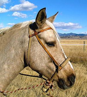 Hackamore - A horse wearing a bosal hackamore with a fiador.