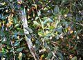 Boscia mossambicensis, loof en vrugte, naby Laer-Sabie.jpg