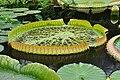 Botanischer Garten der Universität Zürich - Victoria amazonica 2010-09-16 15-25-32.jpg