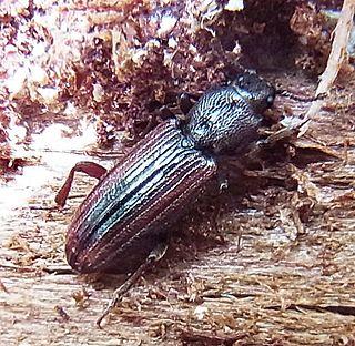 <i>Bothrideres</i> Genus of beetles