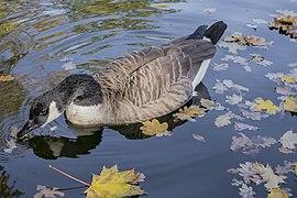 Branta canadensis - Canada goose - Kharkiv Gorky Park - 02.jpg