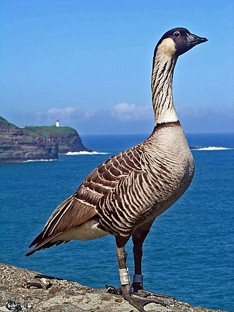 Kilauea Point National Wildlife Refuge - Hawaiian goose and Kīlauea Point peninsula in the background