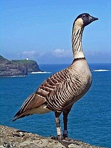 Hawaiin Goose  Letters