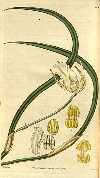 Brassavola tuberculata - 1829 illustration from Curtis's botanical magazine