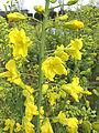 Brassica oleracea var. laciniata inflorescence, bloeiwijze (1).jpg