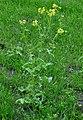 Brassica rapa var. rapa (14).jpg