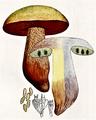 Bresadola - Boletus luridus.png