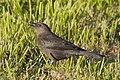Brewer's Blackbird (f) (16089746193).jpg