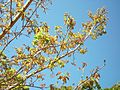 Bridelia micrantha new leaves 12 08 2010.JPG