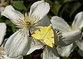 Brimstone Moth - geograph.org.uk - 1331989.jpg