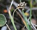 Broktarr - Carex bicolor-1 - Flickr - Ragnhild & Neil Crawford.jpg