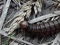 Bronzed Cutworm Moth (Nephelodes minians) Larva - Guelph, Ontario 2014-07-05.jpg