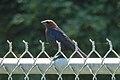 Brown-headed Cowbird (Molothrus ater), Male - Guelph, Ontario.jpg
