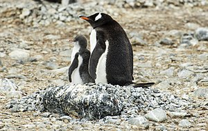 Tabarin Peninsula - Gentoo penguins breed at Brown Bluff